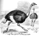 saus bij struisvogel
